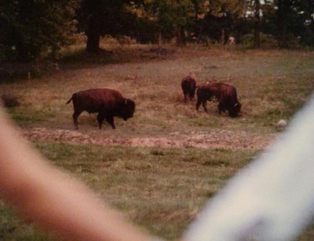 Outdoor Bison Photo Opportunity